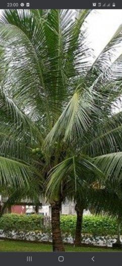 Bán cây dừa lớn0