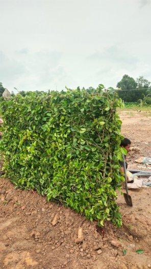 Tường Rào  Xanh Cảnh Quan7