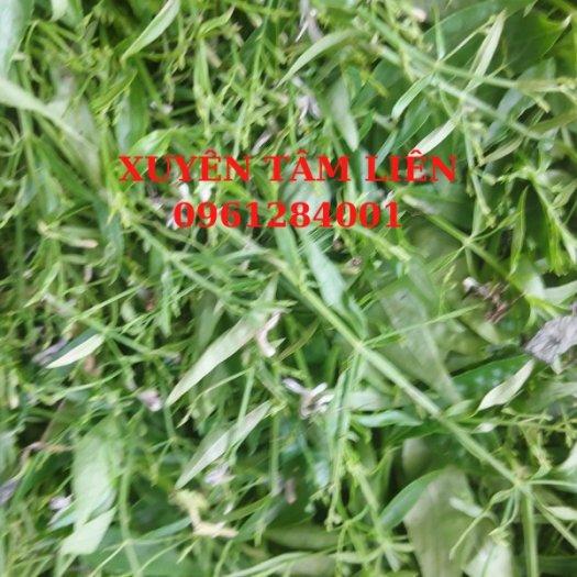 Cây giống xuyên tâm liên, xuyên tâm liên_Vị thuốc tiềm năng trong phòng chống COVID-199