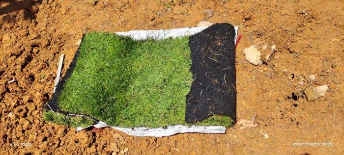Cỏ Kiểng cỏ sân vườn19