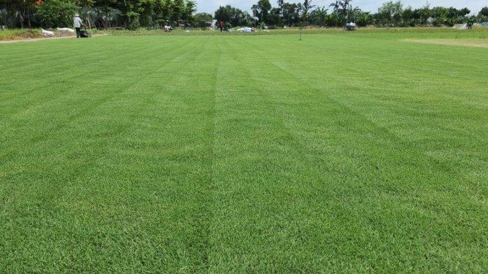 Cỏ Kiểng cỏ sân vườn10