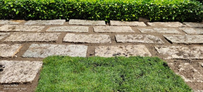 Cỏ Kiểng cỏ sân vườn3