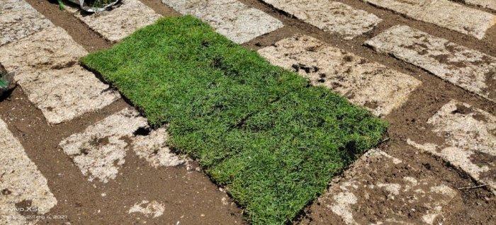 Cỏ Kiểng cỏ sân vườn2