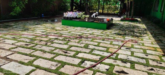 Cỏ Kiểng cỏ sân vườn0
