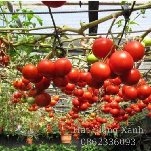 Cung cấp hạt giống cà chua leo giàn Nga, cà chua bạch tuộc, hàng f16