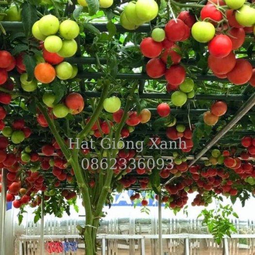 Cung cấp hạt giống cà chua leo giàn Nga, cà chua bạch tuộc, hàng f15