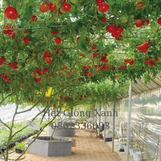 Cung cấp hạt giống cà chua leo giàn Nga, cà chua bạch tuộc, hàng f14