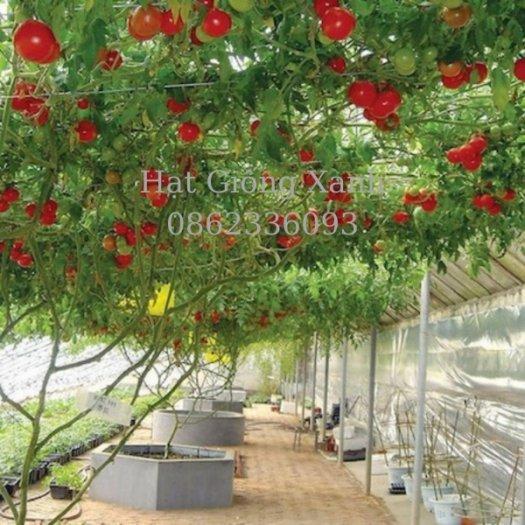 Cung cấp hạt giống cà chua leo giàn Nga, cà chua bạch tuộc, hàng f13