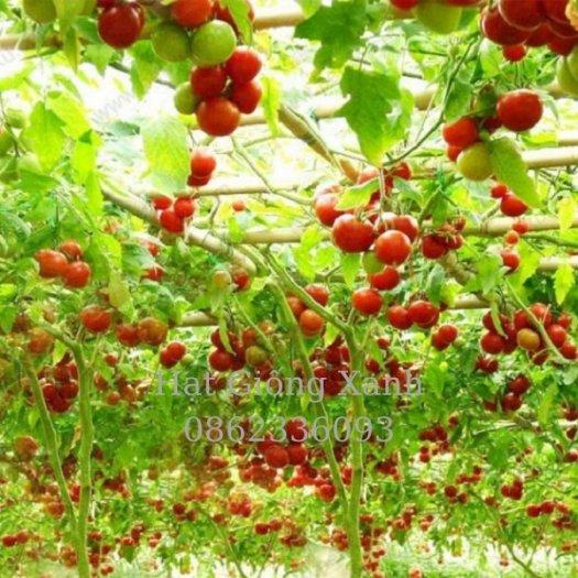 Cung cấp hạt giống cà chua leo giàn Nga, cà chua bạch tuộc, hàng f12