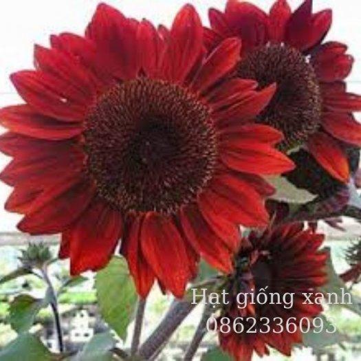 Hạt giống hoa hướng dương đỏ nhung Velvet, hạt giống nhập khẩu Mỹ4