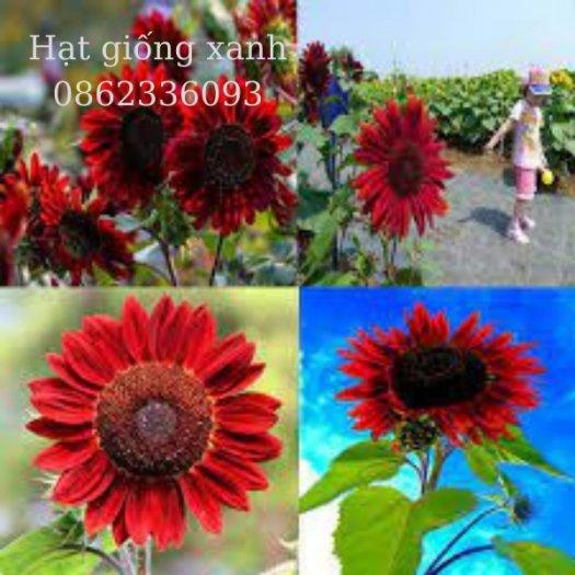 Hạt giống hoa hướng dương đỏ nhung Velvet, hạt giống nhập khẩu Mỹ3