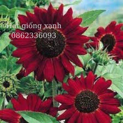 Hạt giống hoa hướng dương đỏ nhung Velvet, hạt giống nhập khẩu Mỹ2
