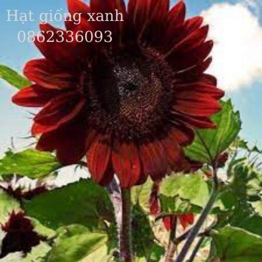 Hạt giống hoa hướng dương đỏ nhung Velvet, hạt giống nhập khẩu Mỹ1