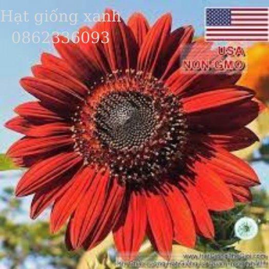 Hạt giống hoa hướng dương đỏ nhung Velvet, hạt giống nhập khẩu Mỹ0