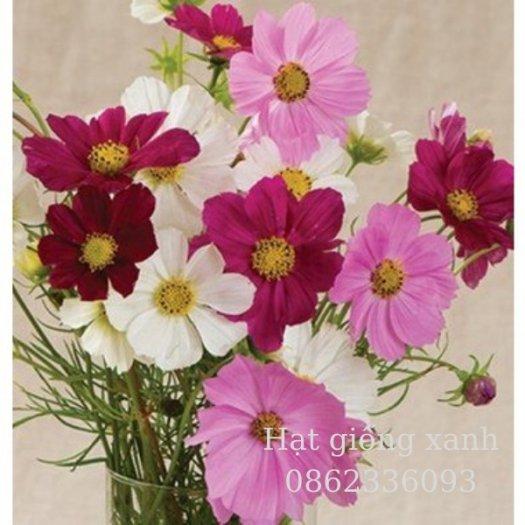 Hạt giống hoa sao nhái mix Sensation, hạt giống f1 nhập khẩu Mỹ6