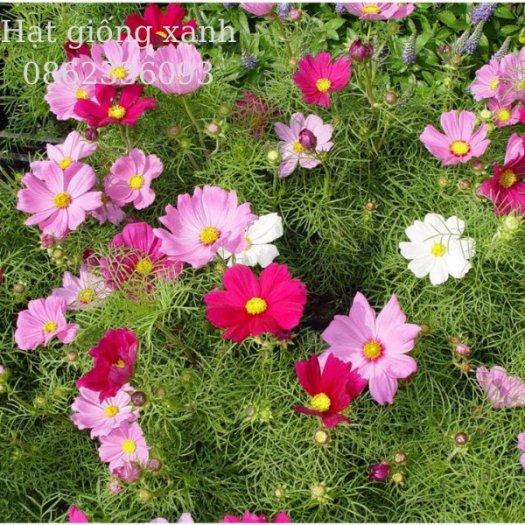 Hạt giống hoa sao nhái mix Sensation, hạt giống f1 nhập khẩu Mỹ5