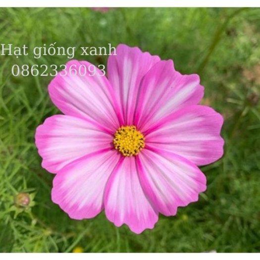 Hạt giống hoa sao nhái mix Sensation, hạt giống f1 nhập khẩu Mỹ4