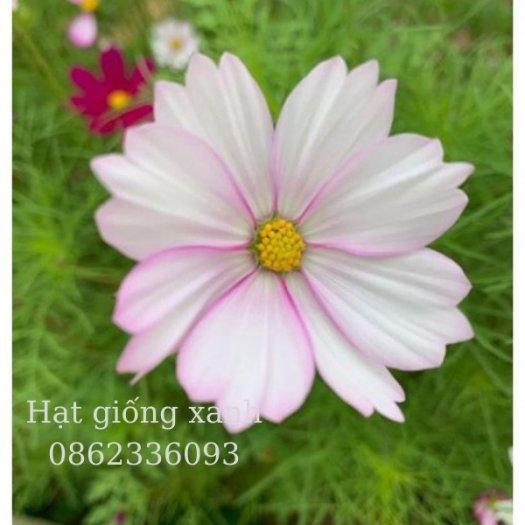 Hạt giống hoa sao nhái mix Sensation, hạt giống f1 nhập khẩu Mỹ3