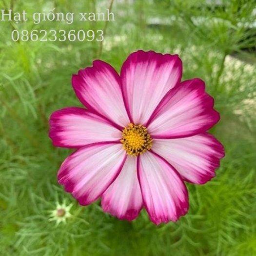 Hạt giống hoa sao nhái mix Sensation, hạt giống f1 nhập khẩu Mỹ2