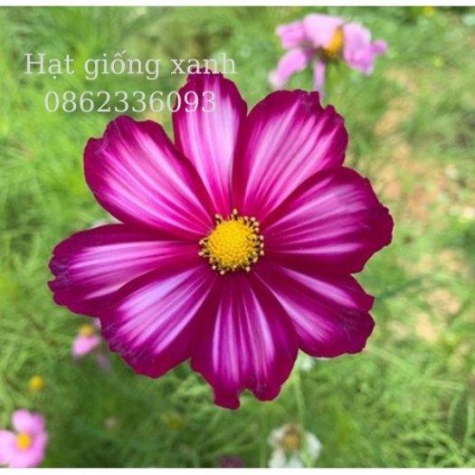 Hạt giống hoa sao nhái mix Sensation, hạt giống f1 nhập khẩu Mỹ1