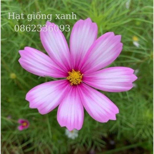 Hạt giống hoa sao nhái mix Sensation, hạt giống f1 nhập khẩu Mỹ0