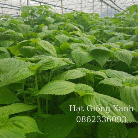 Hạt giống lá mè Hàn Quốc, hạt giống nhập khẩu F12