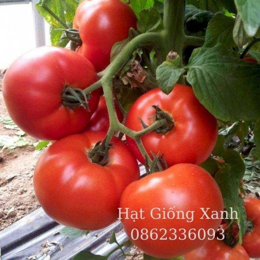 Hạt giống cà chua beef chịu nhiệt Monaco - tỷ lệ nảy mầm 95%3