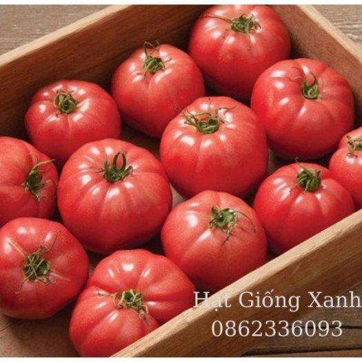 Hạt giống cà chua beef chịu nhiệt Monaco - tỷ lệ nảy mầm 95%2