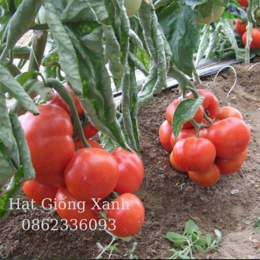 Hạt giống cà chua beef chịu nhiệt Monaco - tỷ lệ nảy mầm 95%1