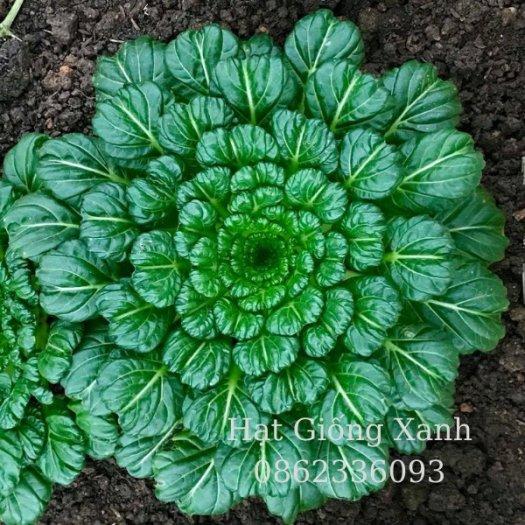 Hạt giống Cải hoa hồng Mỹ, Hạt giống cải Tatsoi Mỹ - tỷ lệ nảy mầm 95%2