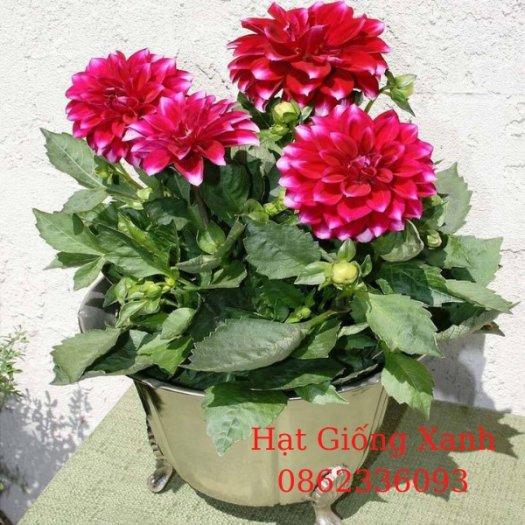 Gói 10 hạt giống hoa thược dược lùn mix màu - tỷ lệ nảy mầm 90%, hạt giống Đài Loan f12