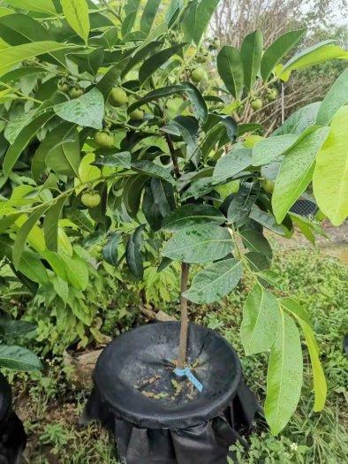 Cây giống hồng socola7