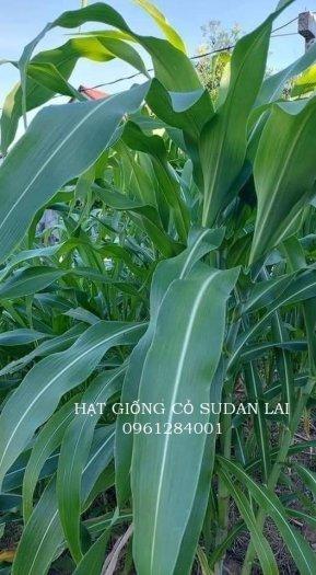 Cung cấp giống cỏ Sudan lai, giống cỏ ngô, uy tín, chất lượng5