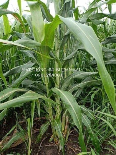 Cung cấp giống cỏ Sudan lai, giống cỏ ngô, uy tín, chất lượng4