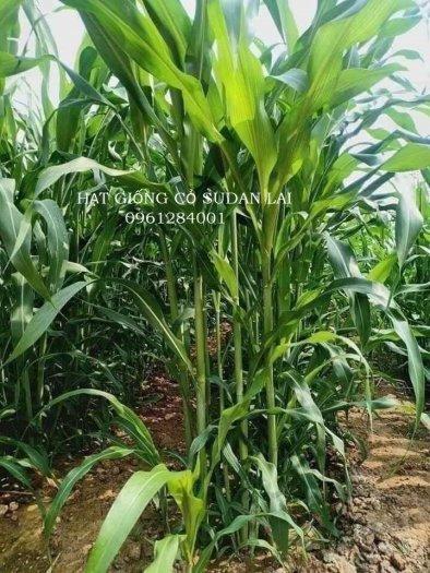 Cung cấp giống cỏ Sudan lai, giống cỏ ngô, uy tín, chất lượng3