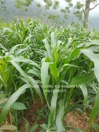 Cung cấp giống cỏ Sudan lai, giống cỏ ngô, uy tín, chất lượng0