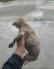 Chó Phú Quốc vện cái