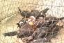 Bầy Peru rặc 2 tháng