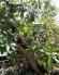 Cây lộc vừng lâu năm thích hợp làm cây cảnh trang trí