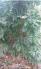Vườn mai vàng 5 cánh các loại gần 200 gốc