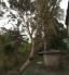 Cây Ổi cổ thụ trên 60 năm