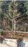 Mai vàng trưng chết trên 25 năm thân hình nhìn đẹp bóng