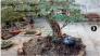 Cây linh sam lá nhỏ gốc lớn dáng đẹp chưng Tết cực kì sang trọng