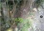 Bán cây vú sữa dáng thác đổ hơn 30 tuổi