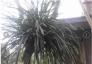 Phong lan tự nhiên 15 tuổi trang trí rất đẹp