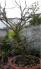 Mai vàng 30 năm tuổi trưng tết rất đẹp mai lên bông kính cây