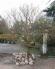 Cây mai vàng dáng đẹp nở hoa vào dịp Tết rất đẹp