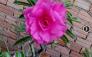 Cây sứ Thái lan hoa nở rất đẹp