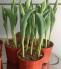 Chậu hoa ly - tulip chơi Tết