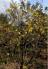 Cây mai già (thanh mai) hàng hiếm hoa nở rất đẹp vào dịp Tết